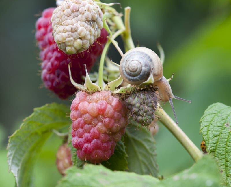 查出在莓红色白色 库存照片