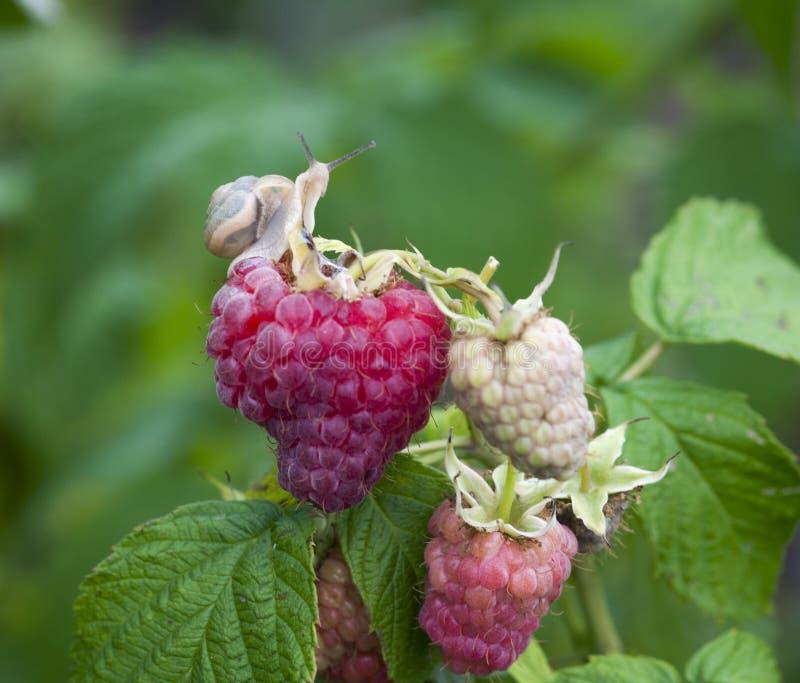 查出在莓红色白色 库存图片