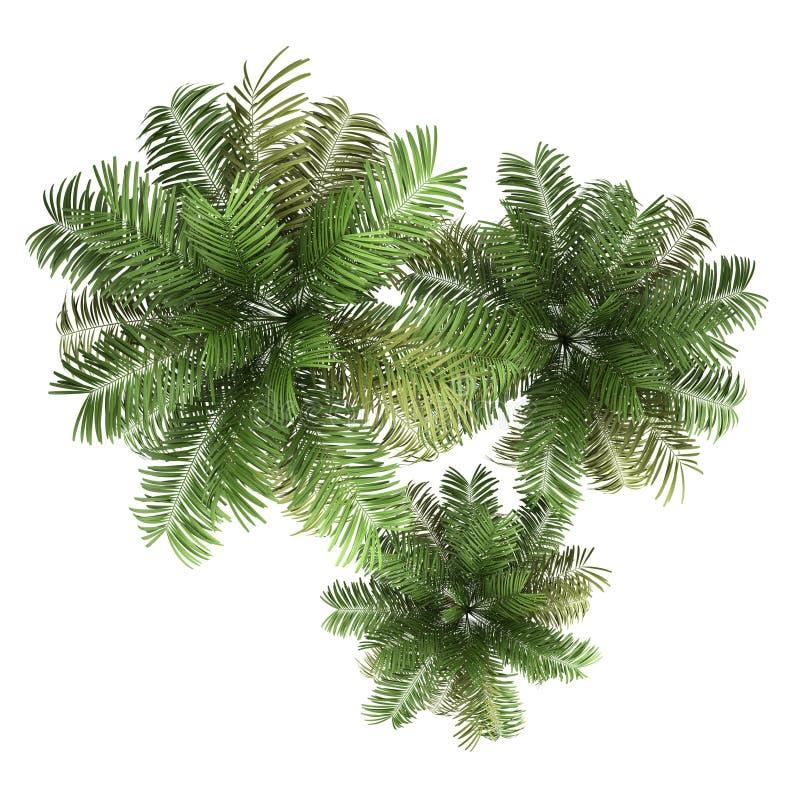 查出的三棵槟榔树棕榈树顶视图  向量例证