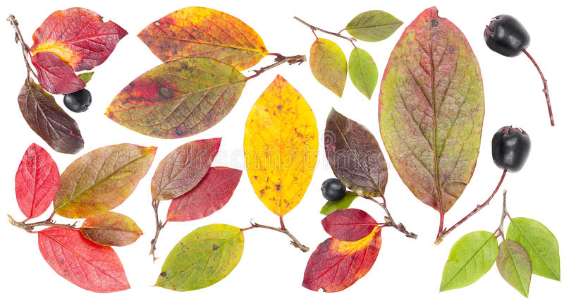 查出的五颜六色的结构树叶子和浆果 库存照片
