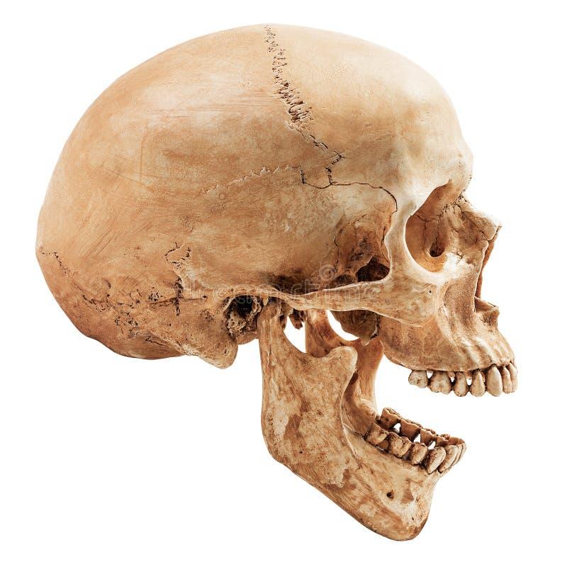 查出的人力头骨 图库摄影