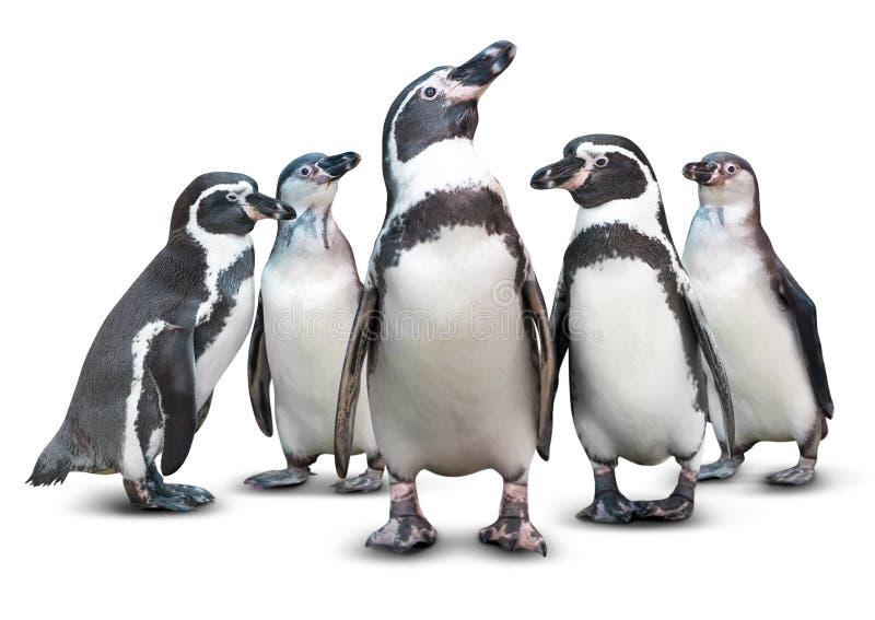 查出的企鹅 库存图片