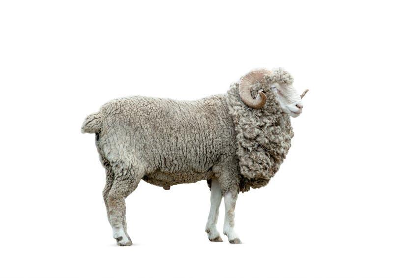 查出的公羊 库存图片