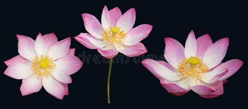 查出的印第安莲花集 库存照片