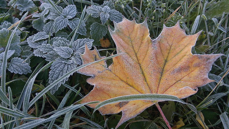 查出的叶子槭树 库存图片
