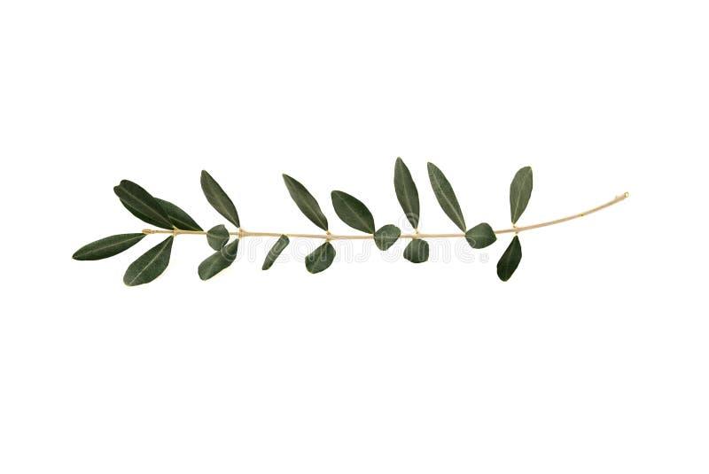 查出的叶子橄榄树枝杈白色 免版税库存照片
