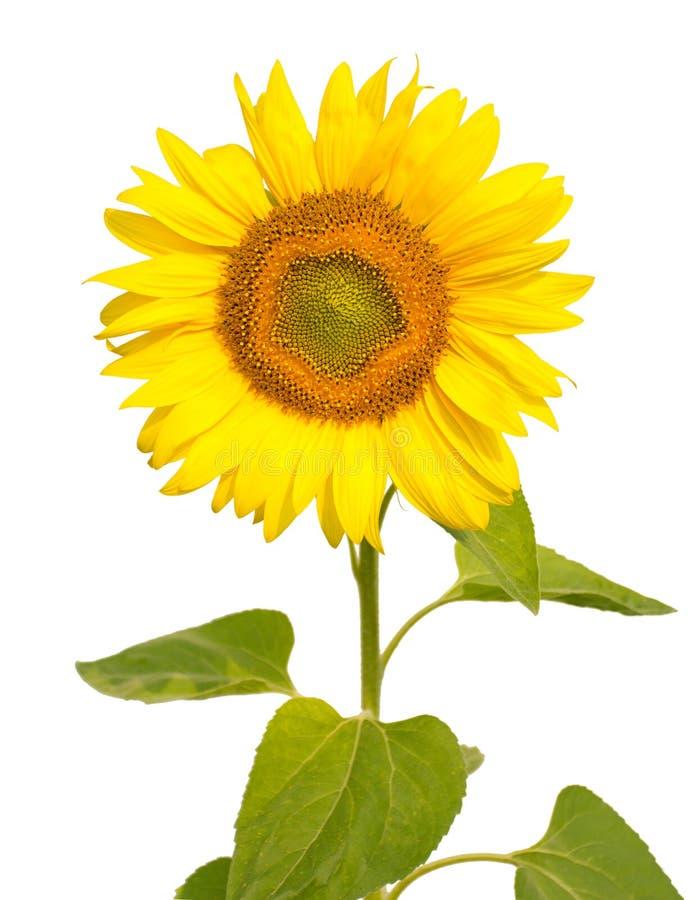 查出的向日葵白色 免版税库存照片