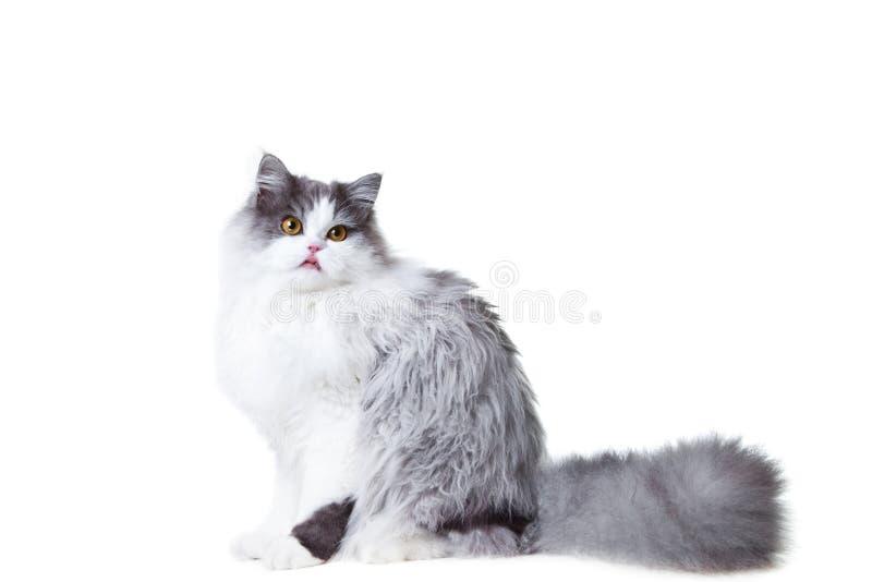 查出的回到猫舔波斯开会白色 免版税库存图片