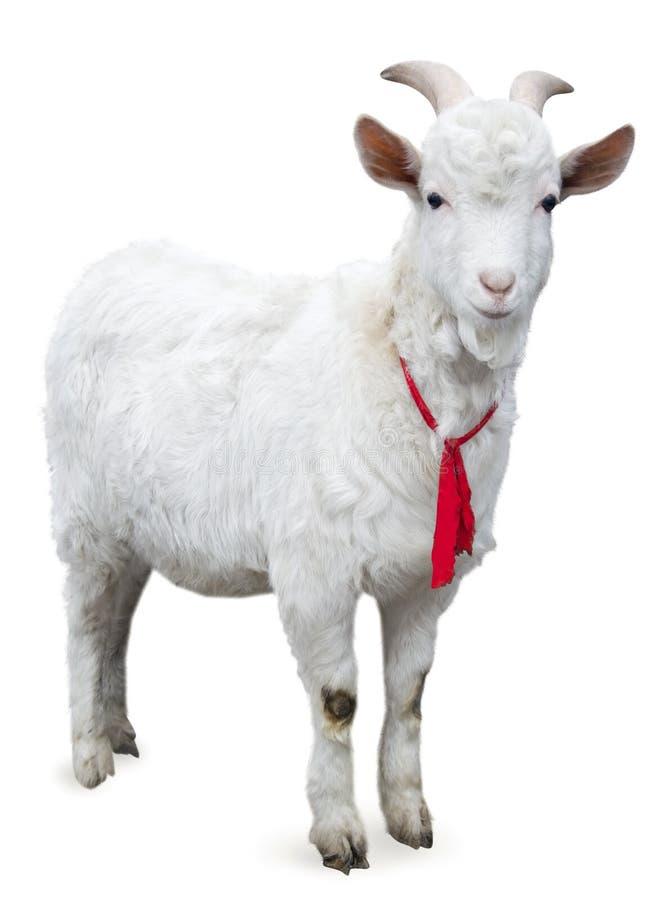查出的山羊 图库摄影
