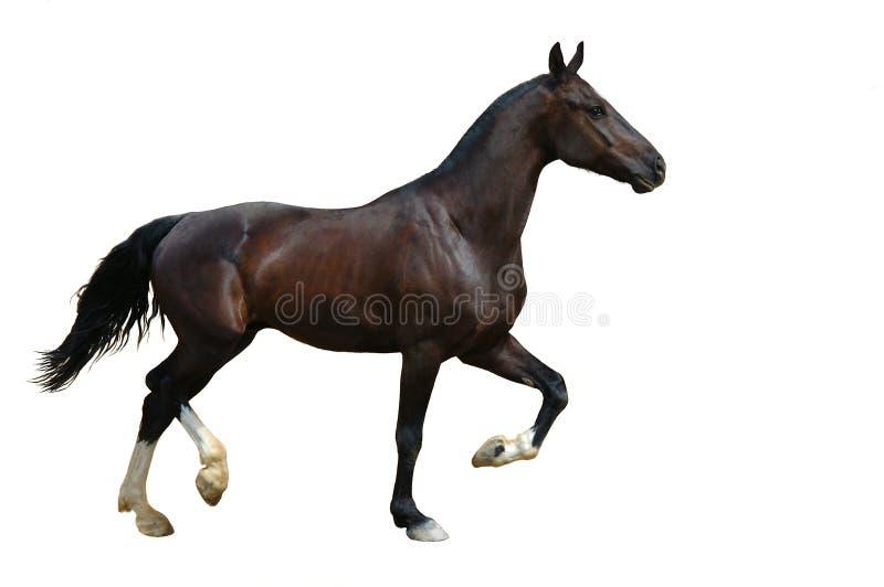 查出的掠夺小跑步马 免版税库存照片