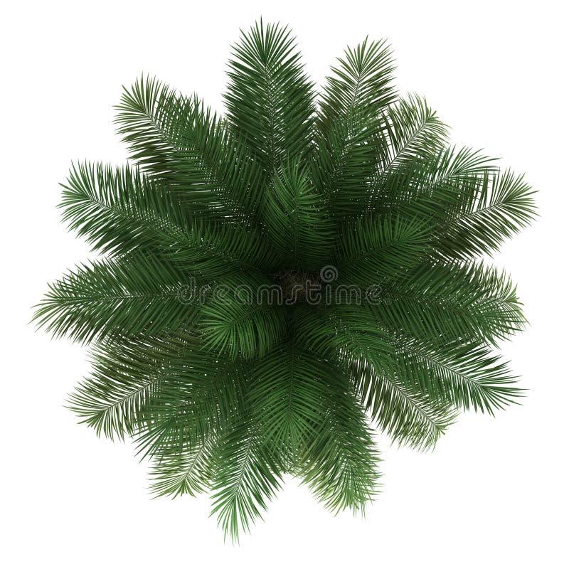 查出的智利酒椰结构树顶视图  库存例证