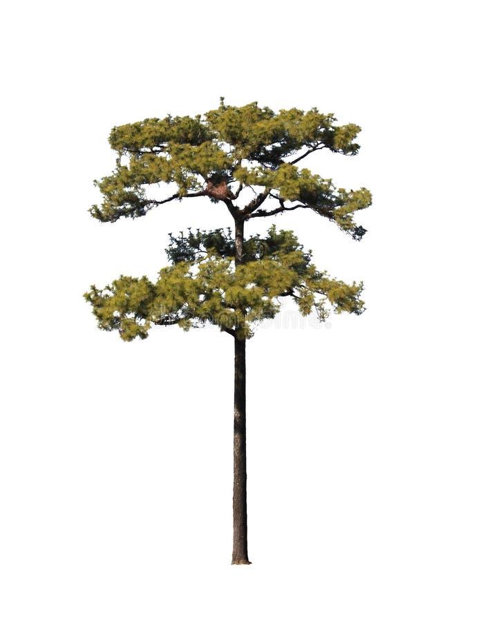 查出的杉树 免版税库存照片