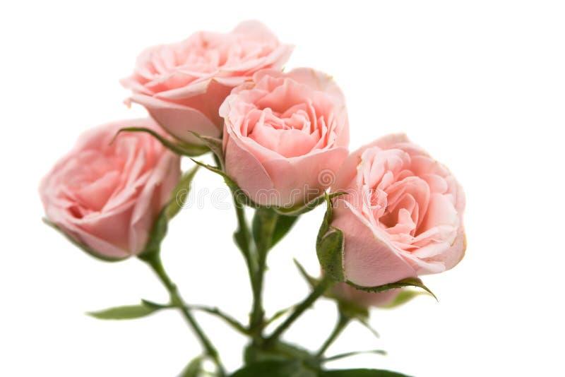 查出的桃红色玫瑰 免版税库存图片