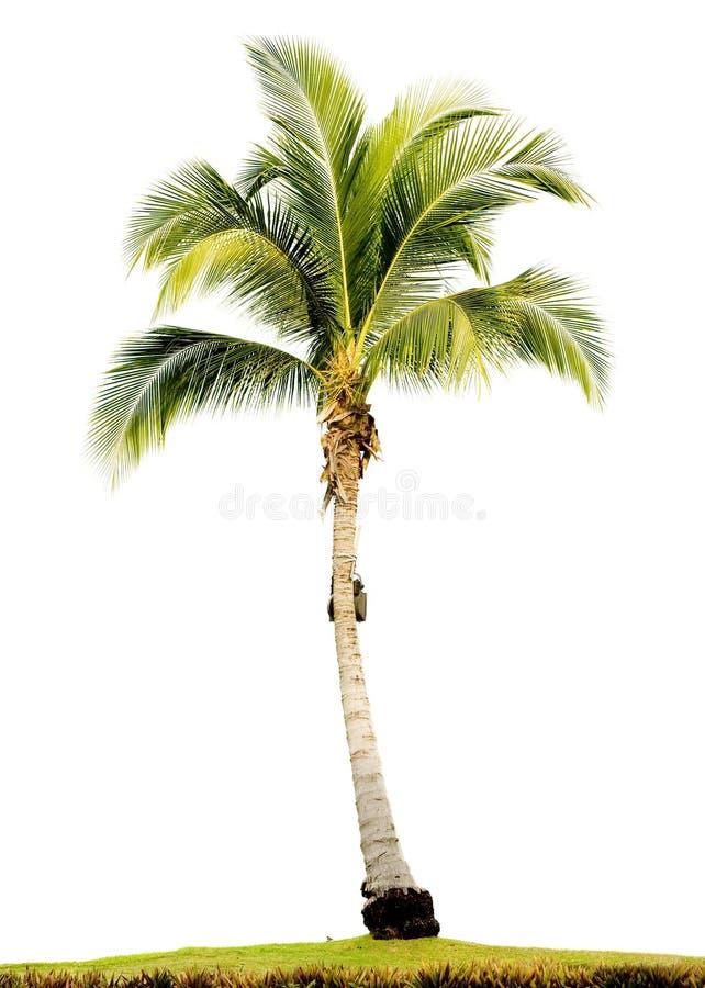 查出的棕榈树 免版税库存照片