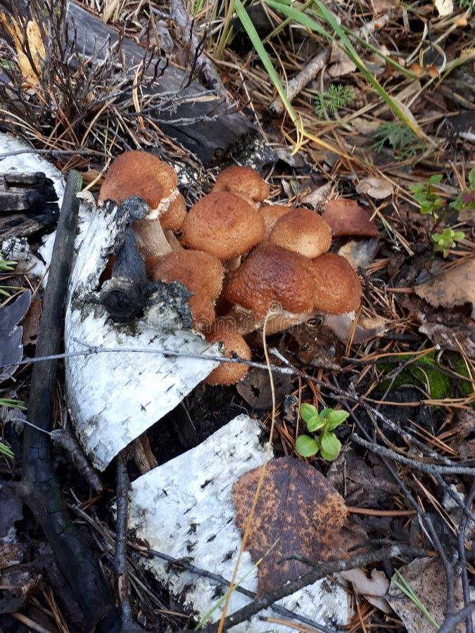 查出的森林采蘑菇白色 蜂蜜伞菌 免版税图库摄影
