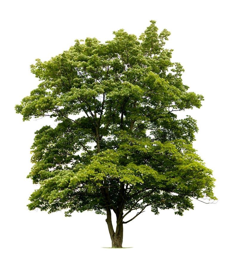 查出的槭树挪威结构树 免版税库存照片