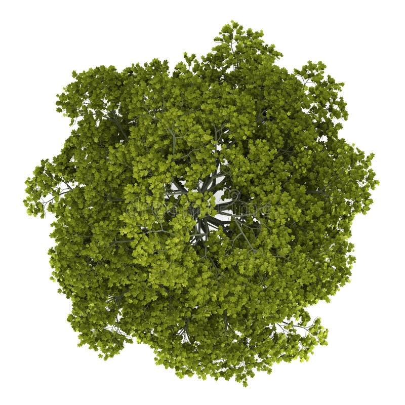 查出的槭树挪威顶部树型视图白色 皇族释放例证