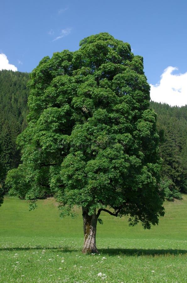 查出的槭树白色 免版税库存照片