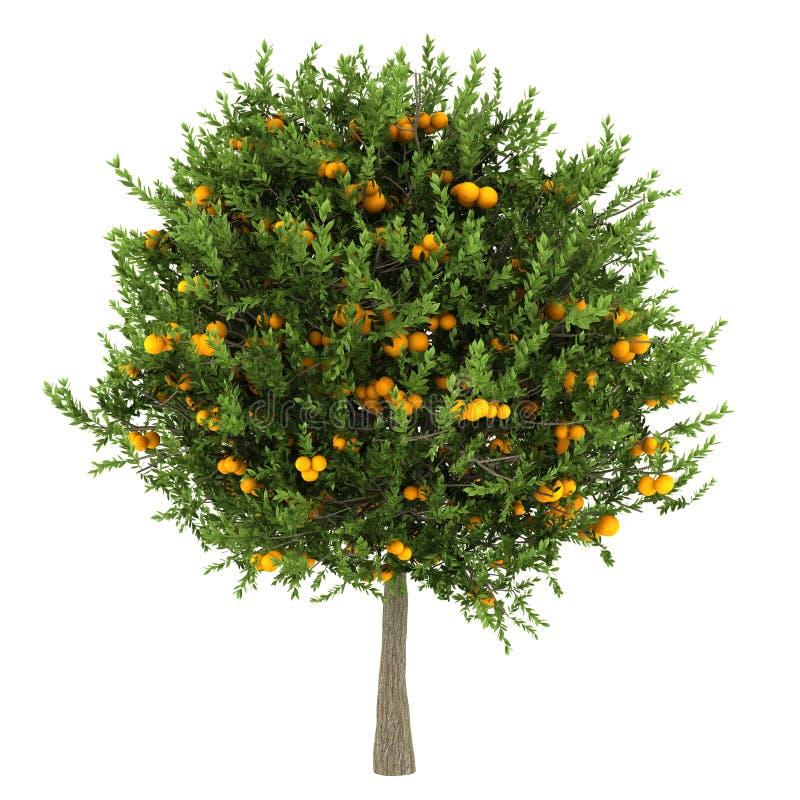 查出的橙树白色 库存图片