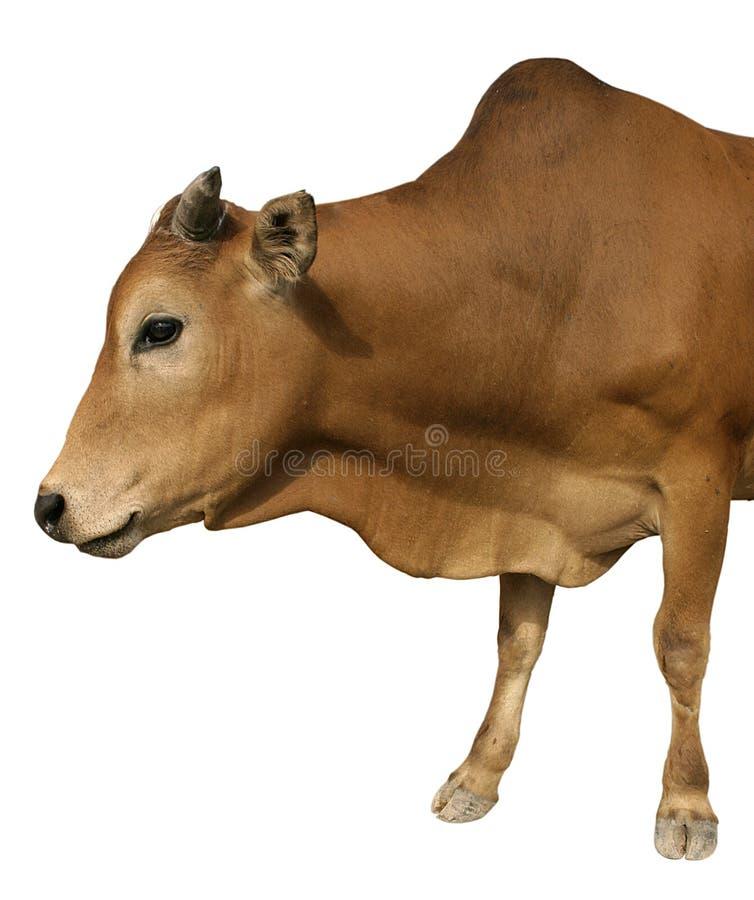 查出的母牛愉快 免版税库存图片