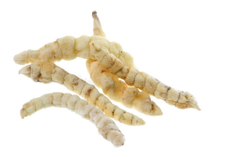 查出的毛虫真菌 免版税库存图片