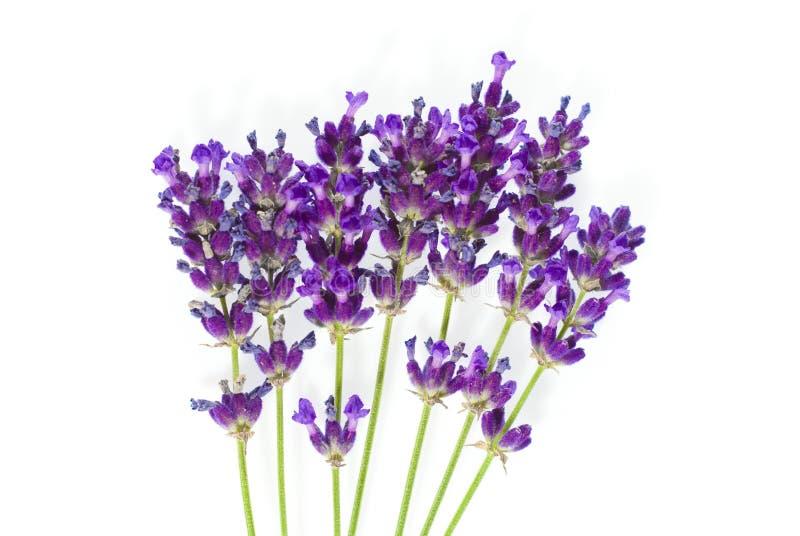 查出的淡紫色白色 库存图片