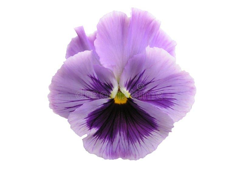 查出的淡紫色蝴蝶花 免版税库存照片