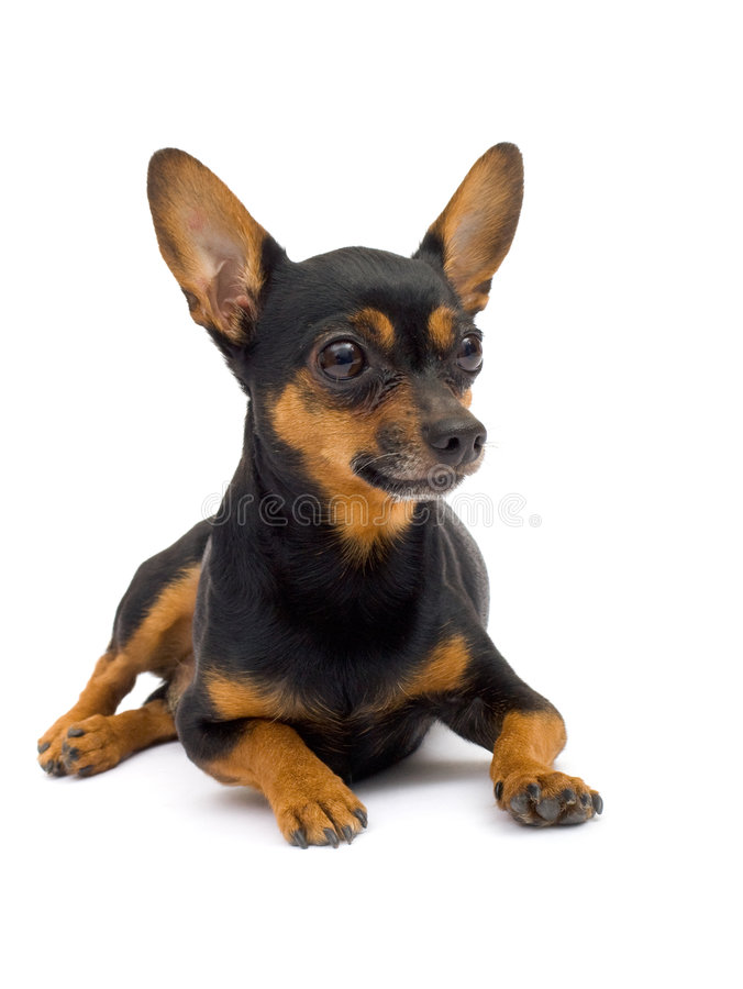 查出的滑稽的狗 免版税库存照片