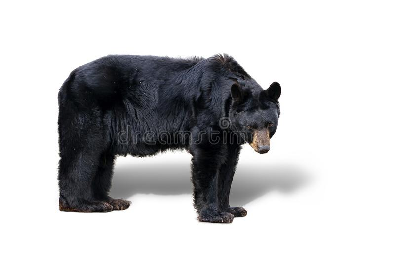 查出的熊黑色 免版税库存图片