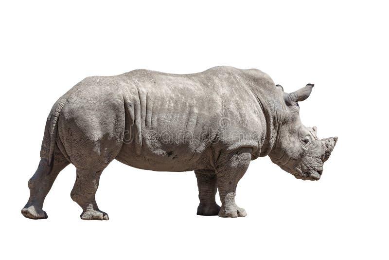 查出的犀牛白色 库存照片