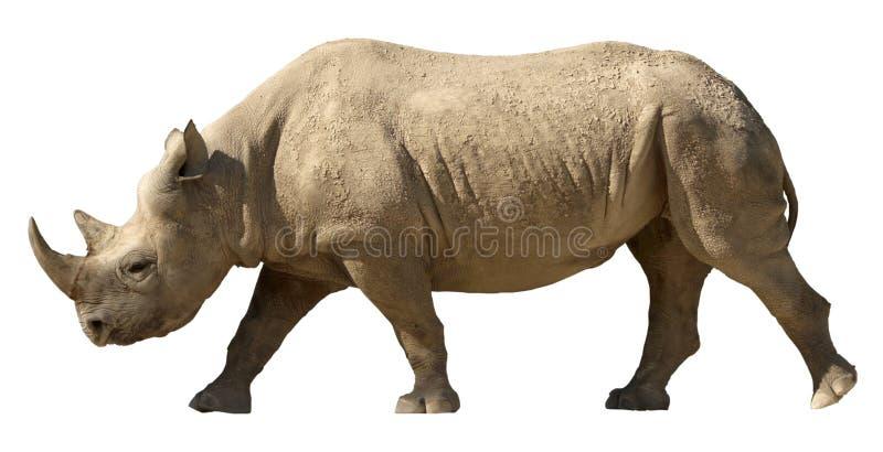 查出的犀牛 库存图片