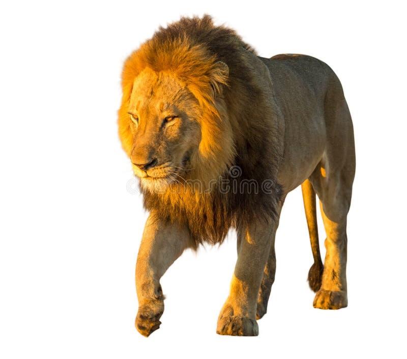 查出的狮子 免版税库存照片