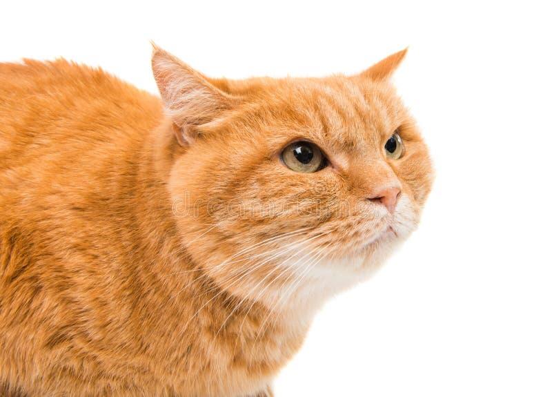 查出的猫姜 免版税库存照片