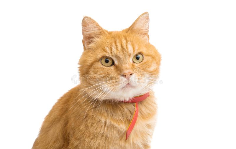 查出的猫姜 免版税库存图片