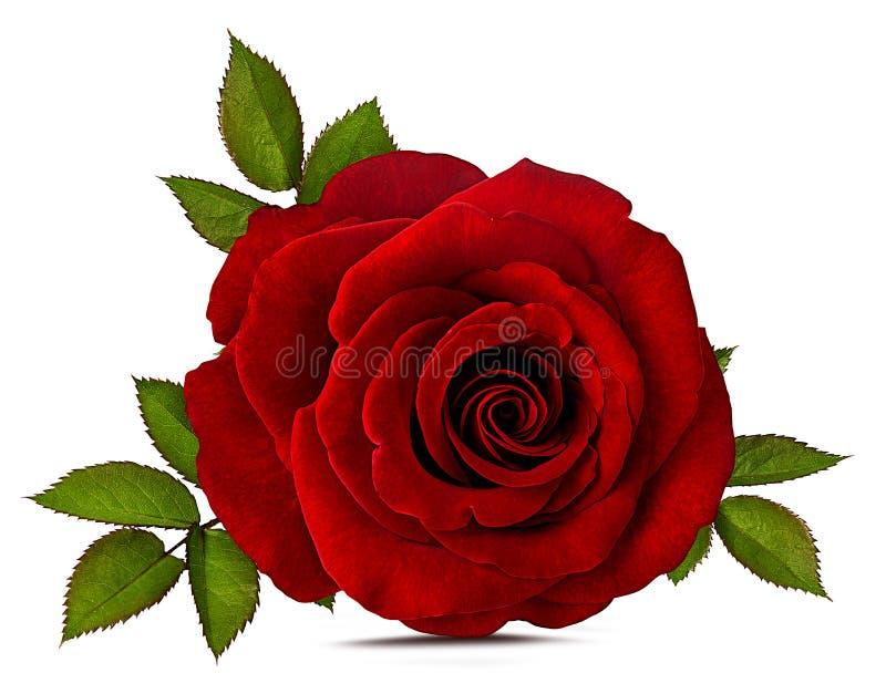 查出的玫瑰白色 皇族释放例证