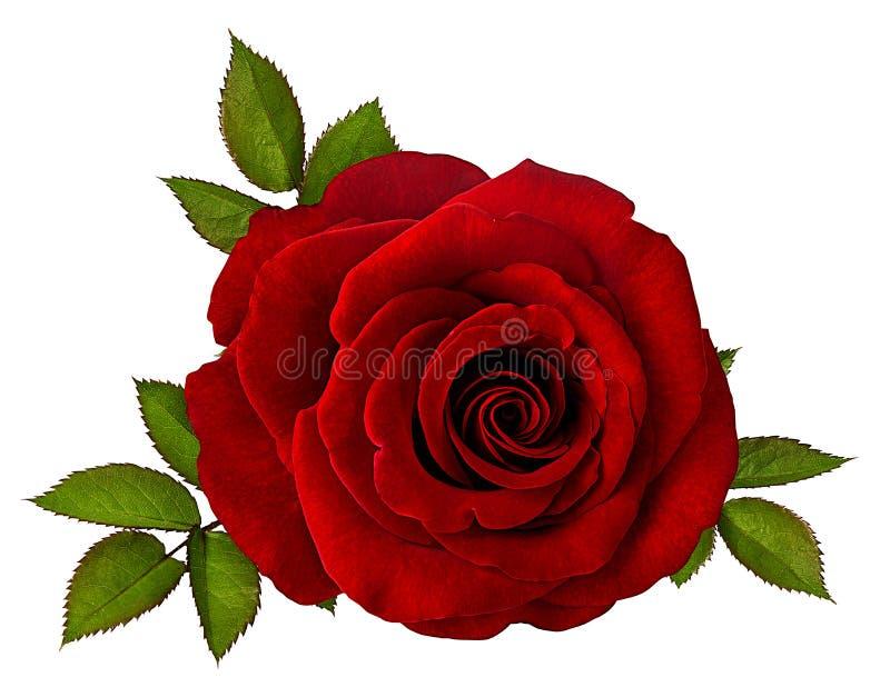 查出的玫瑰白色 库存例证