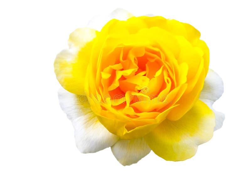 查出的玫瑰黄色 库存照片