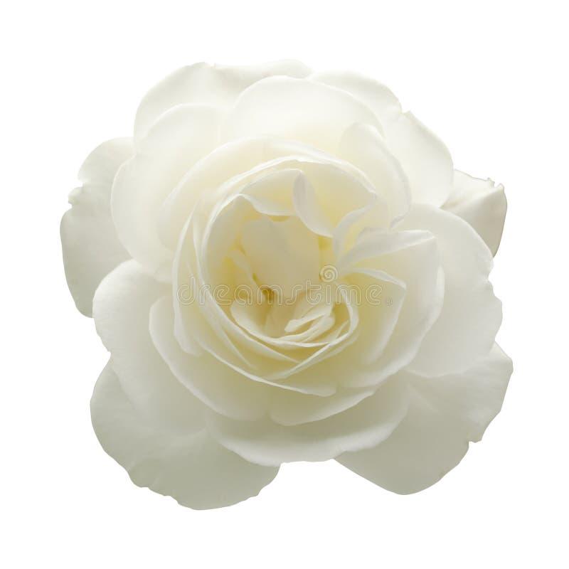 查出的白色玫瑰 库存图片