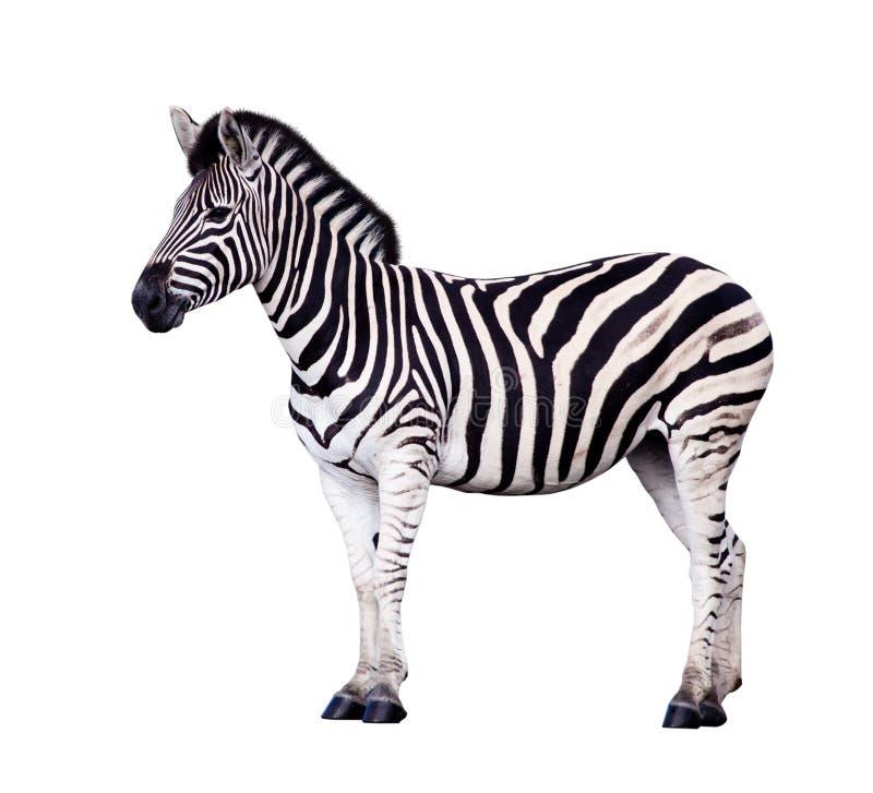 查出的空白斑马 免版税库存照片