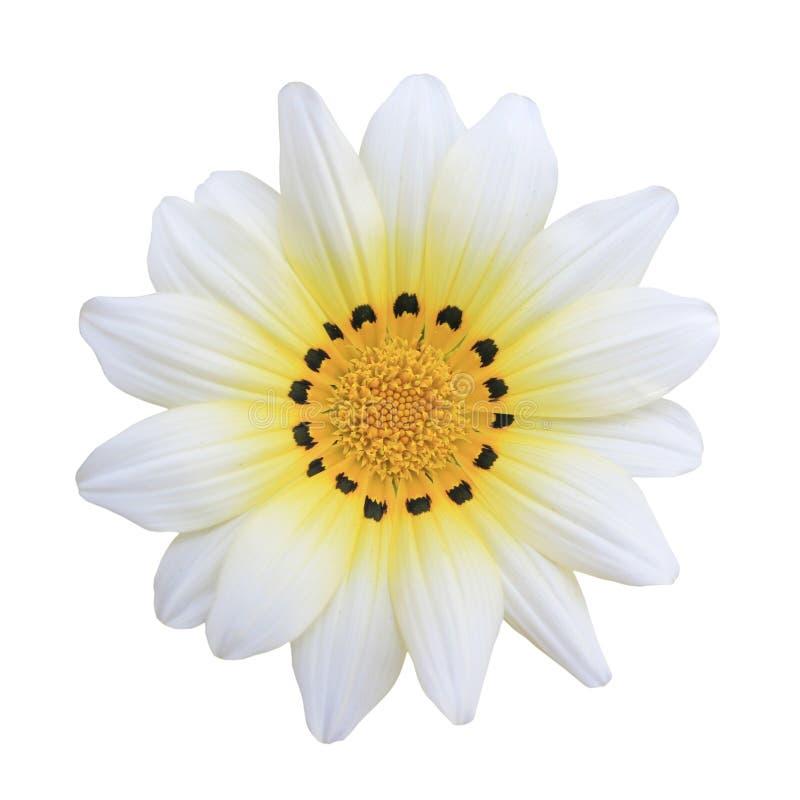 查出的空白杂色菊属植物雏菊 免版税库存图片