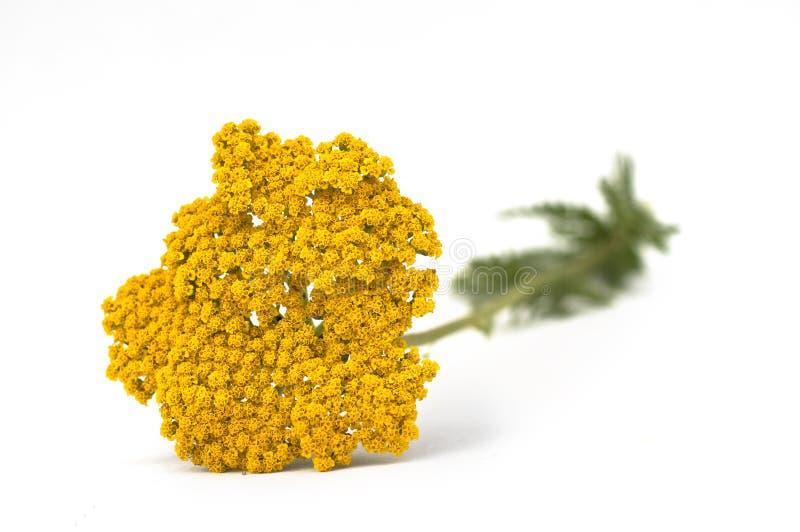 查出的空白欧蓍草黄色 库存图片