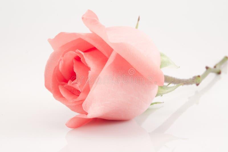 查出的粉红色上升了 免版税库存图片