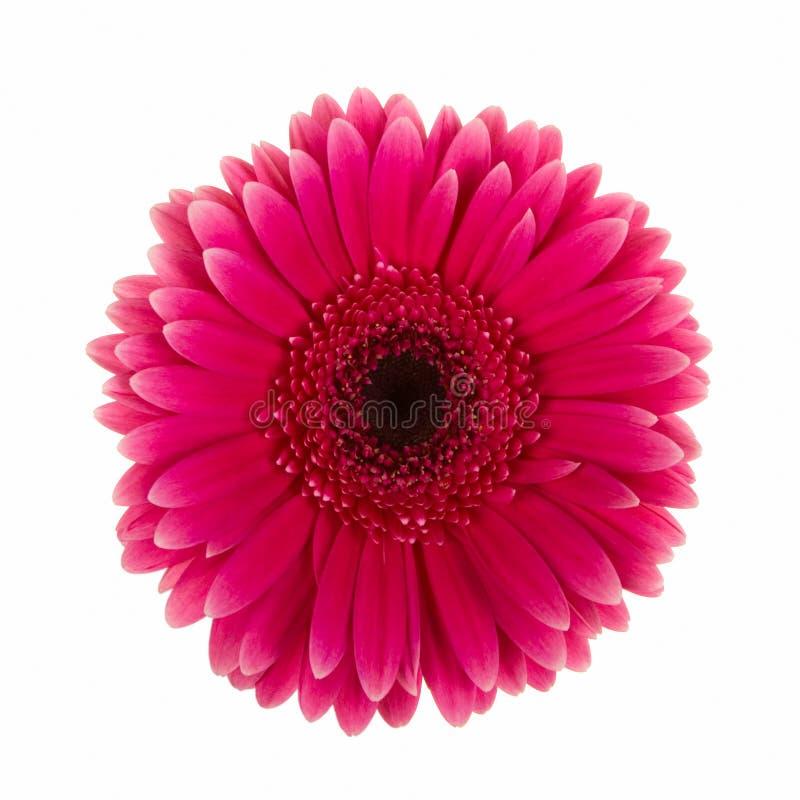 查出的紫罗兰色雏菊花 免版税图库摄影