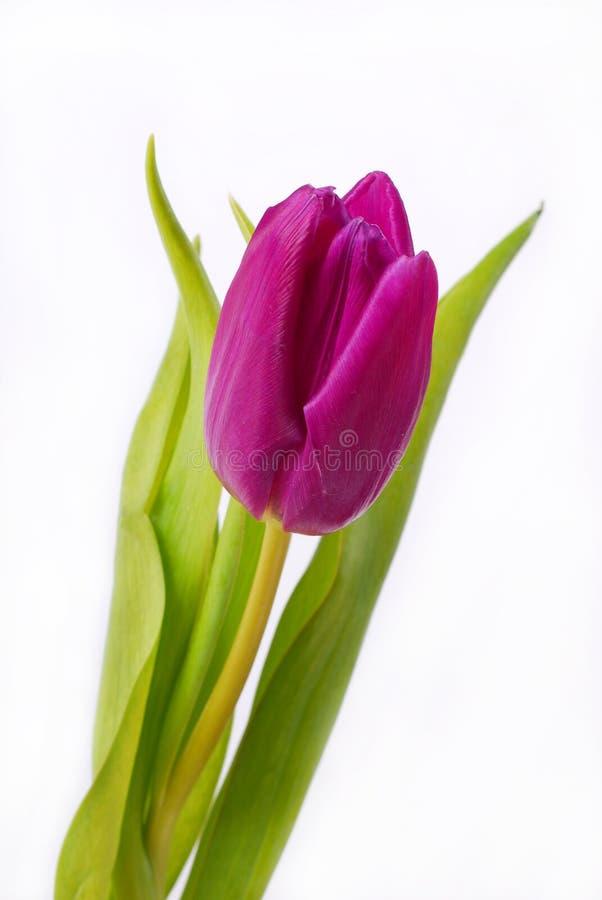 查出的紫色郁金香白色 免版税库存图片