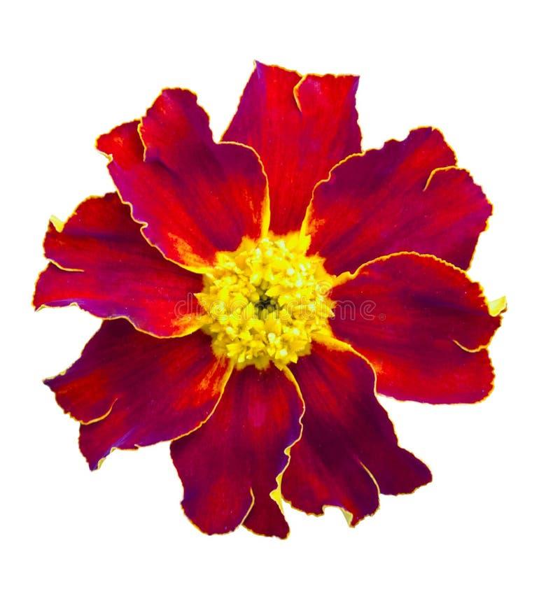 查出的红色万寿菊 在空白背景的美丽的花 免版税库存图片