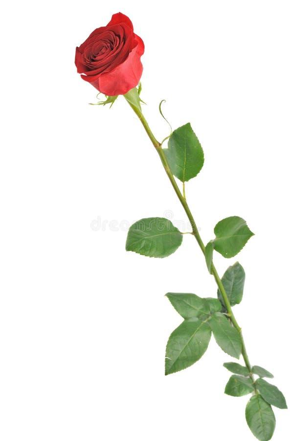 查出的红色玫瑰白色 图库摄影