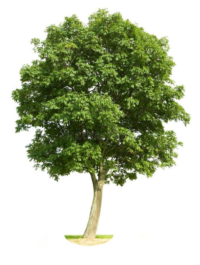 查出的结构树核桃 库存照片