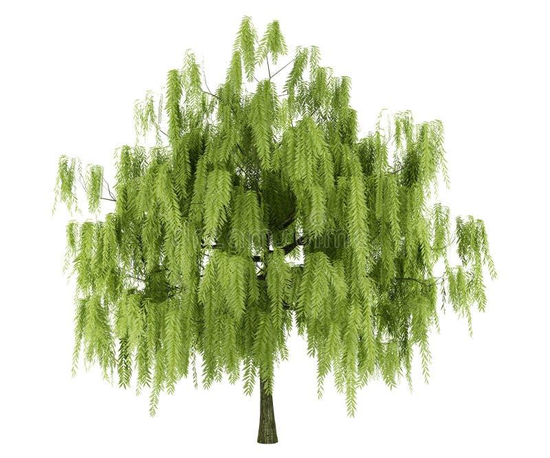 查出的结构树白柳 向量例证