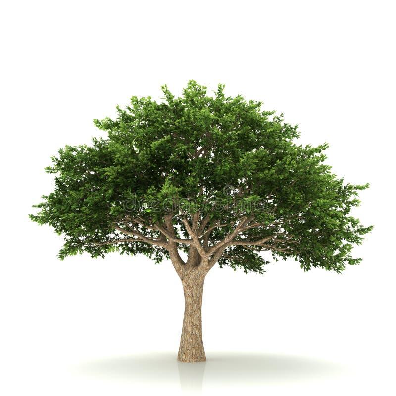 查出的结构树白色 库存例证
