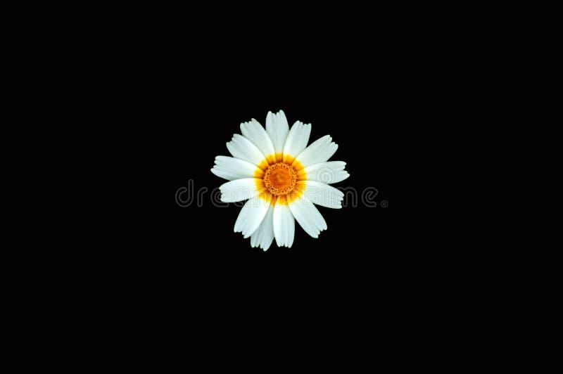 查出的背景黑色雏菊花 库存图片